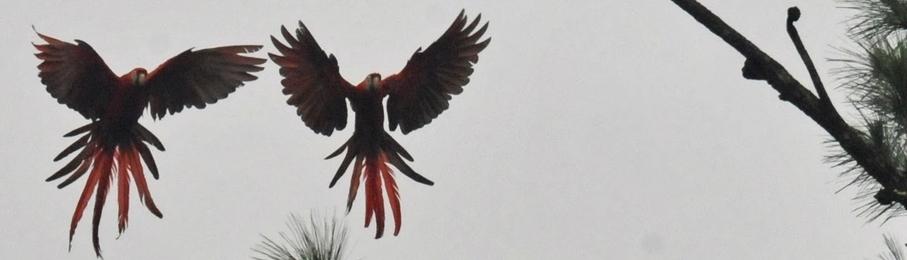 Macaw-Pair-Pine-Trees-907x260.jpg