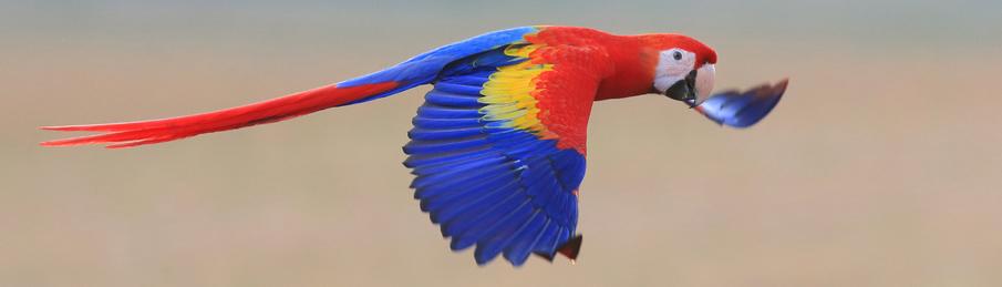 shutterstock_flying-macaw-resized-905x259.jpg