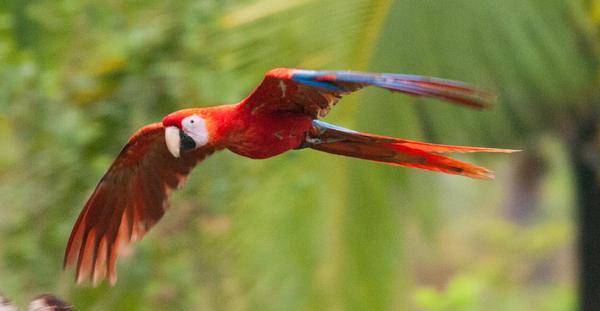 Flying-Macaw_edited-1-600x480.jpg